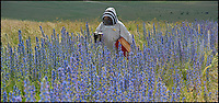 BNPS.co.uk (01202) 558833<br /> Picture: PhilYeomans/BNPS<br /> <br /> Vipers Bugloss (Echium vulgare)<br /> <br /> Long hot summer a boost for the bee man of Salisbury Plain.<br /> <br /> One of Britains last wilderness area's is a hive of activity this summer as an army of busy bees swarm across Salisbury plain in Wiltshire.<br /> <br /> Major Chris Wilkes commands an astonishing 8 million bees in 150 hives dotted across the unique enviroment of the plain. The chalkland host's an amazingly wide range of rare wildflowers as 60,000 acres of SSSI have never been treated with modern pesticides.<br /> <br /> The wet winter and dry spring have produced perfect conditions for the diverse flora of the grasslands, with the isolation of the plain creating a cornucopia of the top nectar flowers in the UK  producing a honey with the distinctive flavour of one of Britains last wilderness areas.