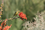 Bird feeding on ocotillo bloom