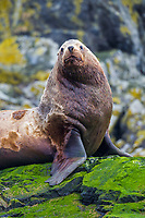 A large male Steller sea lion rests on a rocky island covered in green seaweed near Hinchinbrook Island in Prince William Sound, southcentral, Alaska.