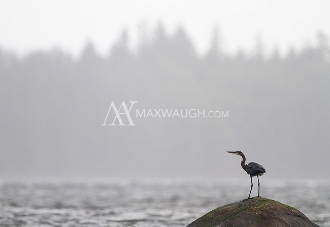 A great blue heron perches on a boulder in the Pacific Ocean.