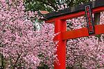 Cherry Blossom Festival - ABG