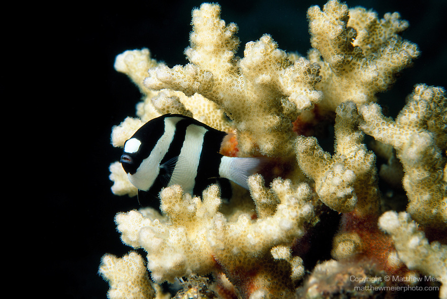 Milne Bay, Papua New Guinea; Humbug Dascyllus (Dascyllus aruanus), to 8 cm (3 in.), form groups, shelter amoung branching corals when threatened, live in inshore and lagoon reefs to 12 meters, found in Red Sea and E. Africa to Line Island and E. French Polynesia, S.W. Japan to Australia , Copyright © Matthew Meier, matthewmeierphoto.com