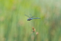 339570021 a wild male paddle-tailed darner aeshna palmata flies over the pond at river springs mono county california