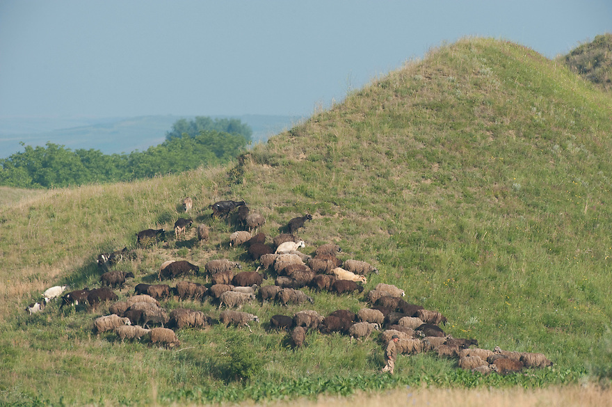 Shepherd and Sheep (Ovis aries) a the Hundred Knolls hills, north west of Moldova