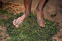 Wayanad, Kerala, India, April 2008. A man seperates the green peppercorns by stomping on them. People of the Paniyas tribe welcome us with some hesitation.  Wayanad has the largest population of aborigine people in Kerala. The native adivasis mainly consist of various sects like Paniyas, Kurumas, Adiyars, Kurichyas, Ooralis, Kattunaikkans etc. The Wayanad district of Kerala offers wildlife viewing opportunities, an insight into tribal culture evocative of earlier centuries, trekking and other adventure activities. Photo by Frits Meyst/Adventure4ever.com