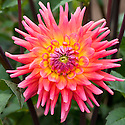 Dahlia 'Oakwood Firelight', mid August.