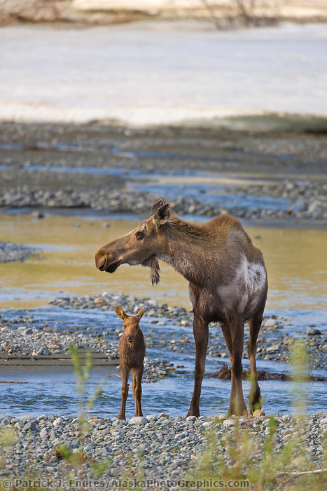 Cow and spring calf moose, Phelan creek, interior, Alaska.