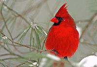 Male Cardinal  #B2