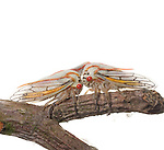 Oak Treehoppers (Platycotis vittata)