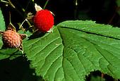 Thimbleberry, (Rubus parviflorus), at Isle Royale National Park, Michigan.