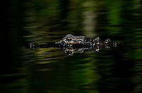Everglades, Fla. -- Feb. 17, 2007 -- An alligator coasts along the surface of the water near the H.P. Williams Roadside Park in the Big Cypress National Preserve just north of Everglades National Park on the southern tip of Florida on Saturday, Feb. 17, 2007.