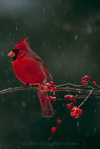 Male northern cardinal perched on branch with holly berries on snowy winter day