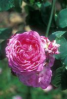 Rosa 'Reine des Violettes' hybrid perpetual old roses pink mauve, heirloom