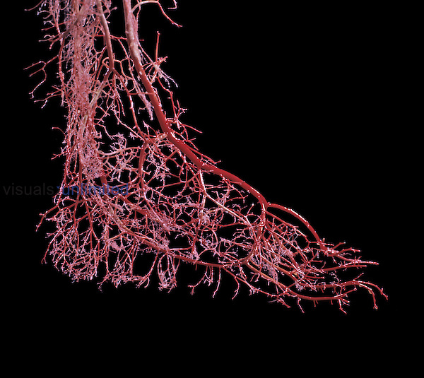 Resin cast of blood vessels in the foot of a full-term human fetus.