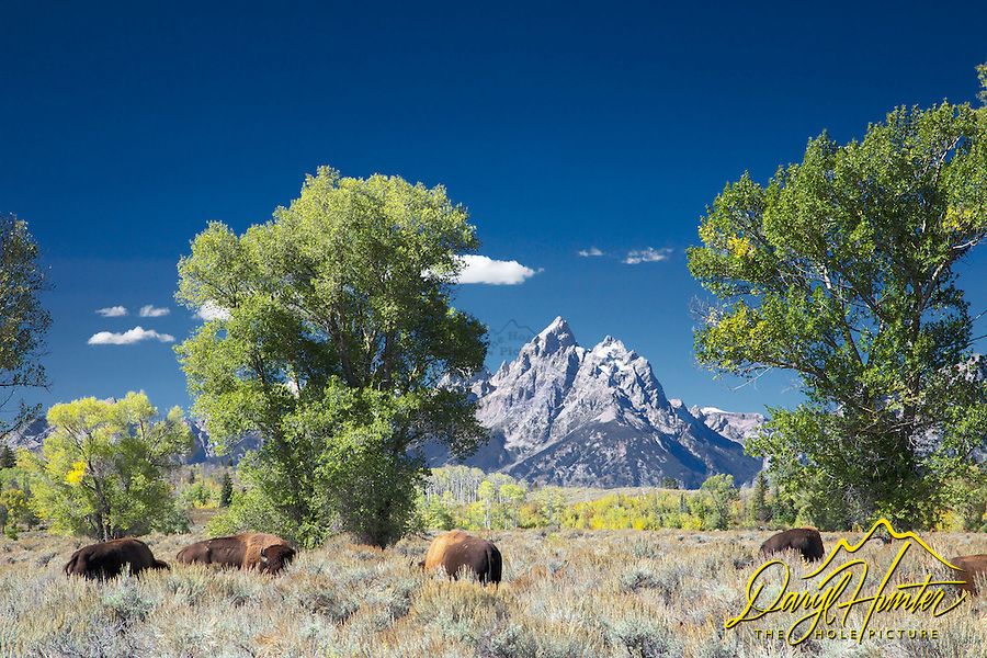 Bison, Grand Tetons, autumn, Jackson Hole Wyoming