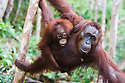 Female orangutan with baby climbing in tree, (Pongo pygmaeus), endangered species due to loss of habitat, spread of oil palm plantations, Tanjung Puting National Park, Borneo, East Kalimantan,