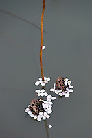 Cherry blossom petals cling to the floating seedheads of lotus plants (nelumbo nucifera)