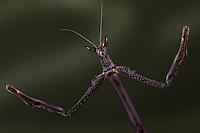 Asian Cat-eye Mantid(Heterochaeta sp.)