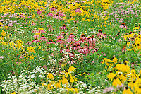 meadow of wild flowers with purple and yellow coneflowers in summer