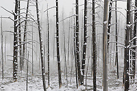 Dead trees in fog and snow, Yellowstone National Park, Winter, Wyoming, United States of America.