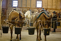 Preparing the mules for the dudes
