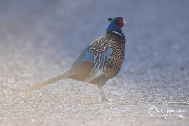 A male pheasant (phasianus colchicum) on his daily morning inspection tour.<br /> Vomb in southern Sweden.<br /> April 2007.