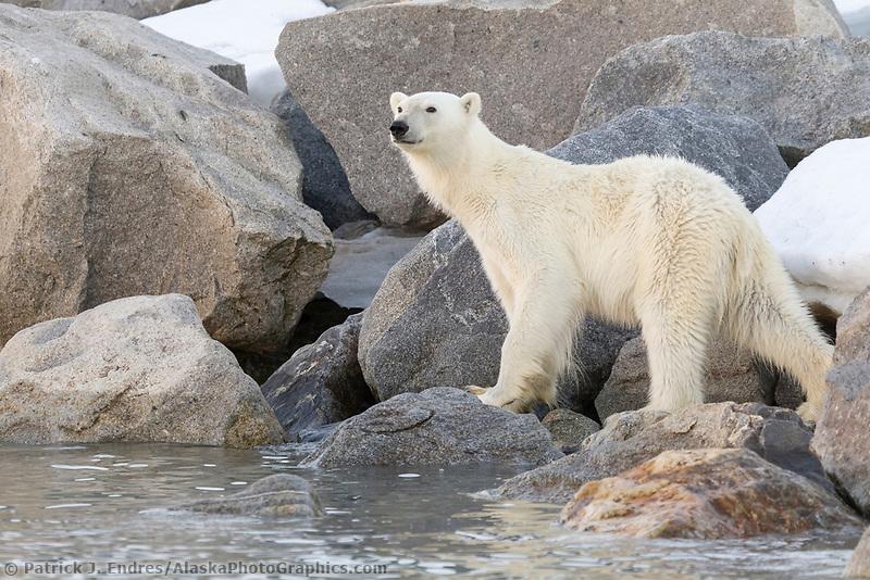 Polar bear along the shores of northern Svalbard.