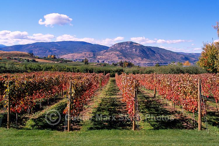 Vineyards in South Okanagan Valley, BC, British Columbia, Canada, Autumn / Fall