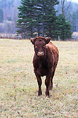 Young beef animal standing in pasture  in late fall