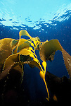 Santa Cruz Island, Channel Islands National Park and National Marine Sanctuary, California; new growth Giant Kelp (Macrocystis pyrifera) with blue water above , Copyright © Matthew Meier, matthewmeierphoto.com All Rights Reserved