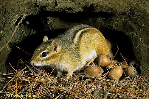 MA03-003b  Chipmunk - eastern in den with acorns - Tamias striatus