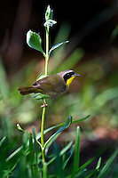Common Yellowthroat perched on stem