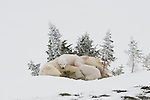 Two polar bear cubs nap with their mother in the soft snow of Manitoba, Canada.