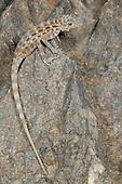 Rock Gecko (Pristurus insignis), endemic to Socotra, Yemen.