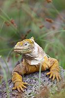 Male land iguana, South Plaza Island, Galapagos Islands, Ecuador
