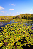 Lily-covered pond on the Anhinga Trail in Taylor Slough, Everglades National Park, Florida.