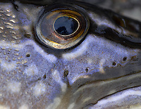 Northern Pike Eyeball<br />