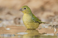 510440133 a beautiful wild female painted bunting passerina ciris bathes in a small pond in the rio grande valley of south texas during migration