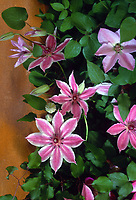 Clematis Lincoln Star  (P) , Early Large-flowered Clematis, pink bicolor flowers, striped
