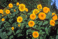 Sunflowers, typical plus Teddy Bear type, Helianthus annuus, mixture