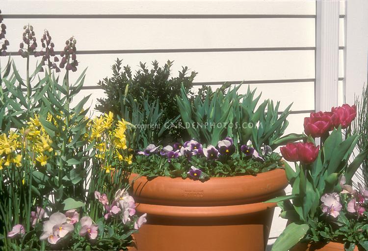 Spring bulb container garden, small Narcissus daffodils with pansies Violas, Nectoscordon, tulips, boxwood shrub, Equisetum, three terracotta plastic planters