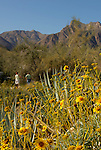 USA, California, San Diego County. Brittlebush flowers of Anza-Borrego Desert State Park.