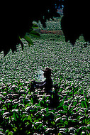 Cuba, 1992: A man smoking a cigar while working ina tobacco field in Vinales area, Cuba.