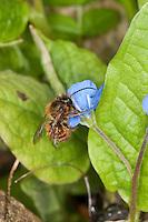 Rote Mauerbiene, Maue-Biene, Männchen, Osmia rufa, Osmia bicornis, Blütenbesuch im Garten an Gedenkemein, Nektarsuche, Bestäubung, red mason bee