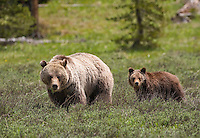 Grizzly Days. A sow grizzly orages through an open meadow with one of her three yearling cubs during a lazy spring afternoon in Wyoming.