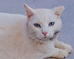 The white cat at Windsong Winery has a reputation of being a little bit hostile towards guests. The cat has its claws and knows how to use them.  The day we visited, however, she was mainly curious about me; she stormed straight up and demanded attention.  After some petting, I got away unscathed.  Later, owner Sherry Ramey let me know  how lucky I'd been.