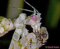 "0406-07oo  Spiny Flower Mantis (#9 Mantis) - Pseudocreobotra wahlbergii ""Female"" - © David Kuhn/Dwight Kuhn Photography"