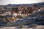 A  Jackal skulks away as Benedict Allen starts up in the morning on his journey through the Namib Naukluft  desert as he travelled  from South Africa to Angola, 1,700 miles. Skeleton Coast, Namibia...