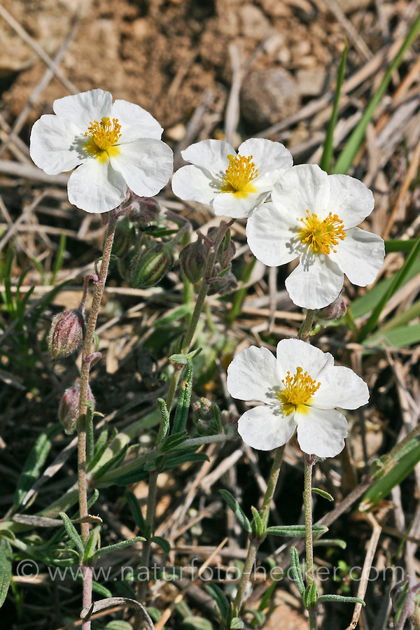 Apenninen-Sonnenröschen, Apennin-Sonnenröschen, Helianthemum apenninum, white rock-rose, L'hélianthème des Apennins