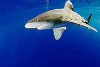 oceanic whitetip shark, Carcharhinus longimanus, Big Island, Hawaii, USA, Pacific Ocean